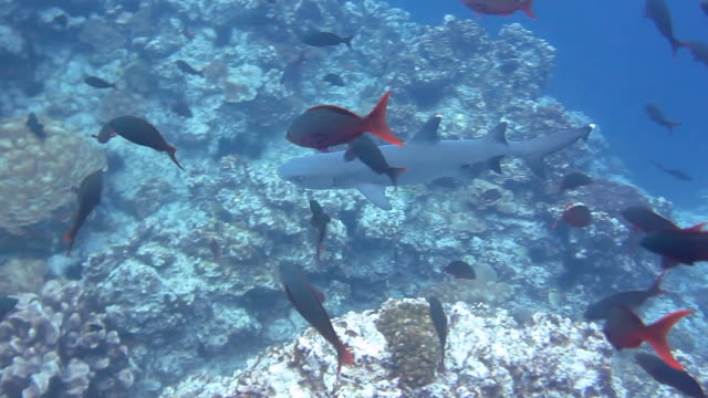 whitetip reef shark swimming over a hard coral area amongst creole fish, cocos island, costa rica. - hard coral stock videos & royalty-free footage
