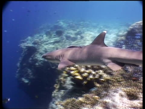 ms whitetip reef shark, swims past camera, sipadan, borneo, malaysia - whitetip reef shark stock videos & royalty-free footage