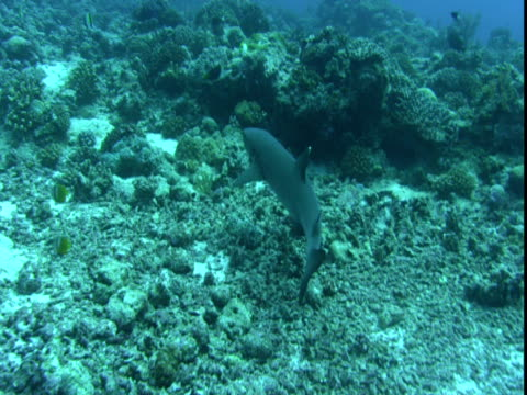 a whitetip reef shark swims past other fish along a coral reef. - whitetip reef shark stock videos & royalty-free footage