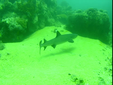 A whitetip reef shark swims past rocks and across a sandy seabed.