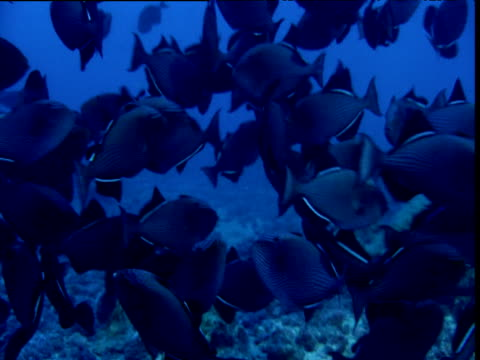 whitetip reef shark swims through shoal of black triggerfish, cocos island, costa rica - whitetip reef shark stock videos & royalty-free footage