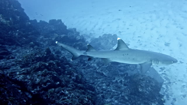 whitetip reef shark (triaenodon obesus) - whitetip reef shark stock videos & royalty-free footage