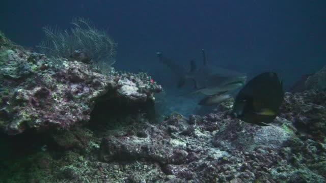 whitetip reef shark (triaenodon obesus) - whitetip reef shark stock videos and b-roll footage