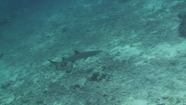 whitetip reef shark (triaenodon obesus) - oceanic white tip shark stock videos & royalty-free footage