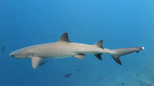 whitetip reef shark - whitetip reef shark stock videos and b-roll footage