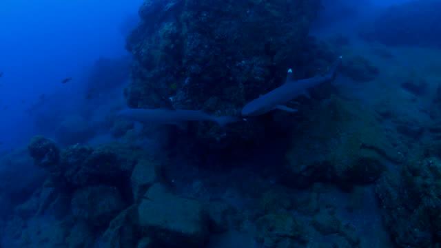 whitetip reef shark - whitetip reef shark stock videos & royalty-free footage