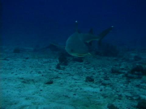 a white-tip reef shark - tierisches exoskelett stock-videos und b-roll-filmmaterial