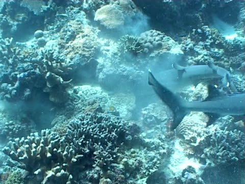 whitetip reef sharks (triaenodon obesus) attacking prey on reef, sipadan, malaysia, borneo - ネムリフカ点の映像素材/bロール