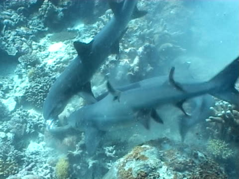 whitetip reef sharks (triaenodon obesus) attacking prey on reef, sipadan, malaysia, borneo - jagd stock-videos und b-roll-filmmaterial