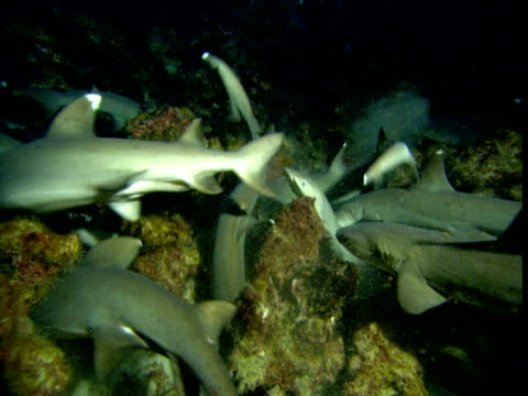 Whitetip reef sharks feed on reef at night, Cocos Island, Costa Rica