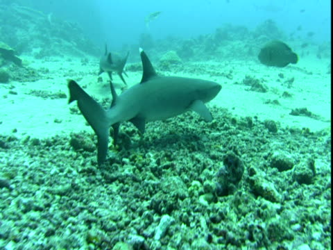 vídeos de stock e filmes b-roll de whitetip reef sharks swim along the ocean floor. - barbatana dorsal