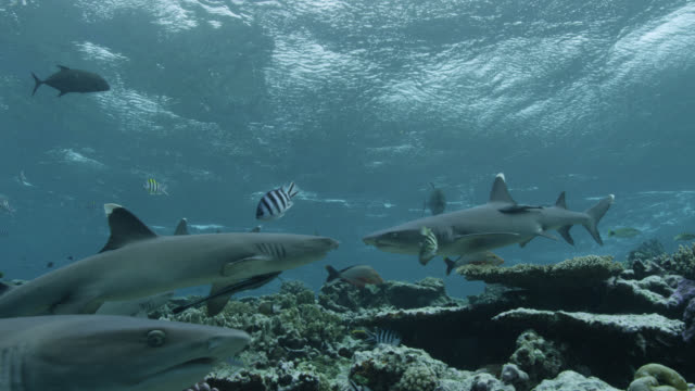 whitetip reef sharks (triaenodon obesus) swim over coral reef, fiji - whitetip reef shark stock videos & royalty-free footage