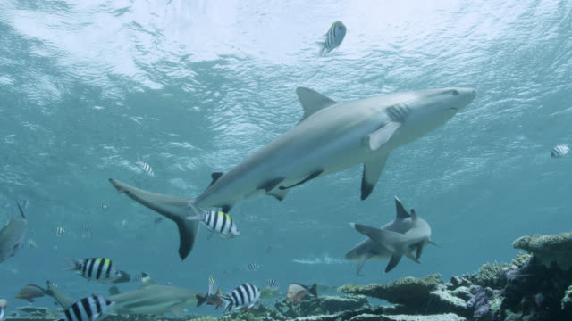 whitetip reef sharks (triaenodon obesus) swim over coral reef, fiji - reef stock videos & royalty-free footage