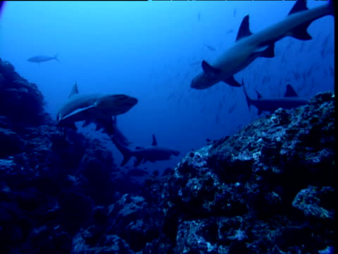 Whitetip reef sharks swim over reef, Cocos Island, Costa Rica