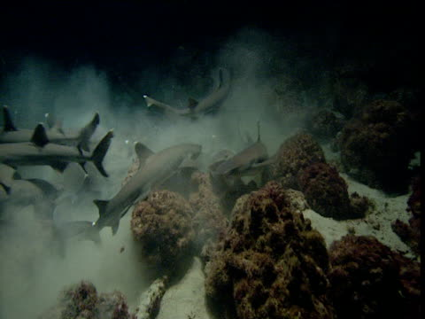 whitetip reef sharks swim through cloud of silt - whitetip reef shark stock videos & royalty-free footage