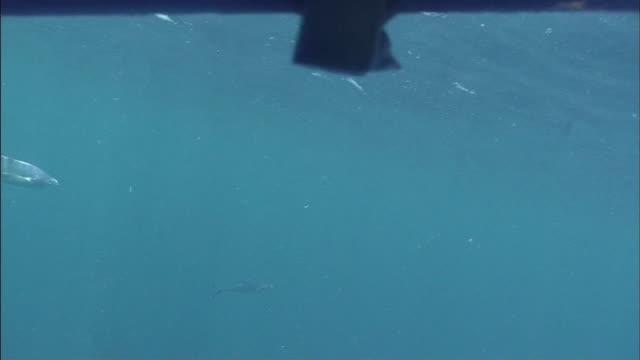 ms cu whitetip reef sharks (triaenodon obesus) swimming near surface to tear bite off of piece of prey / cairns, queensland, australia - ネムリフカ点の映像素材/bロール