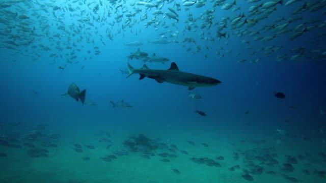whitetip reef sharks - whitetip reef shark stock videos & royalty-free footage