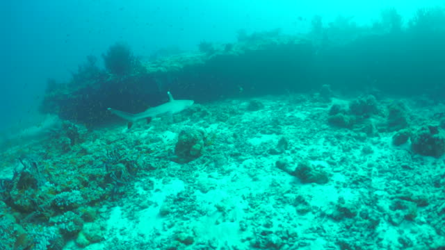 a whitetip shark swims over the coral reef of a tropical island. - invertebrate stock videos & royalty-free footage
