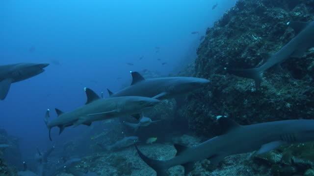 whitetip sharks - weißspitzen hochseehai stock-videos und b-roll-filmmaterial