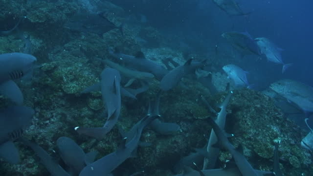 vídeos de stock, filmes e b-roll de whitetip sharks - carcharhinus longimanus