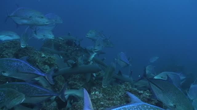 whitetip sharks - oceanic white tip shark stock videos & royalty-free footage