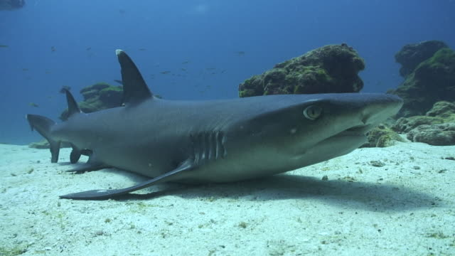 whitetip sharks - whitetip reef shark stock videos & royalty-free footage