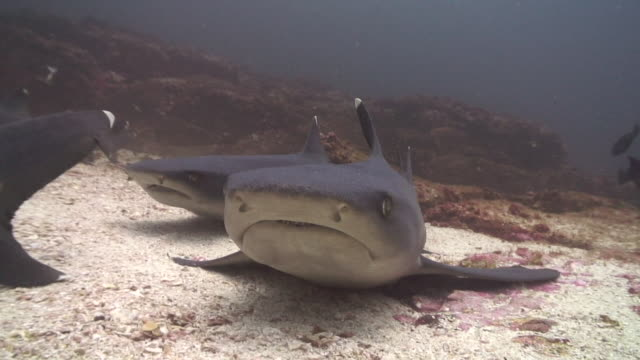 whitetip sharks - mittelgroße tiergruppe stock-videos und b-roll-filmmaterial