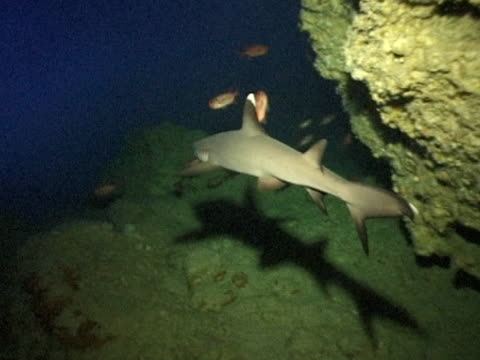 Whitetipped Reef Shark with shadow