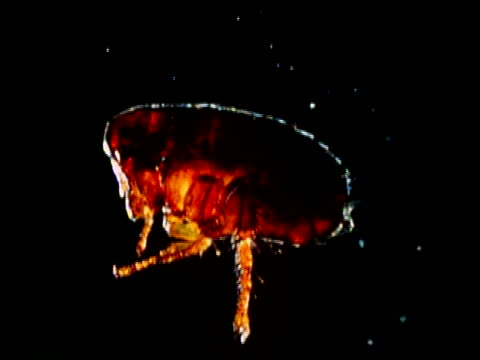 whole rabbit flea, side view, black background - flea insect stock videos and b-roll footage