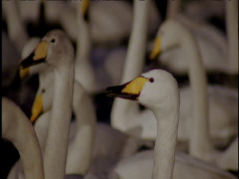vidéos et rushes de whooper and mute swans on lake at night - cygne tuberculé