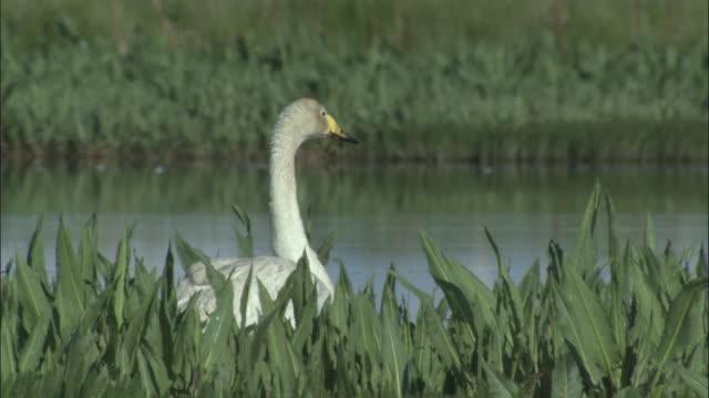Whooper swan feeds amongst vegetation at edge of water, Bayanbulak grasslands.