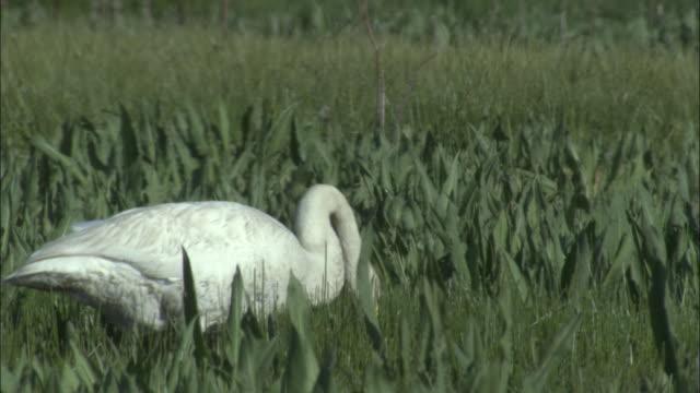 Whooper swan feeds on grass, Bayanbulak grasslands.