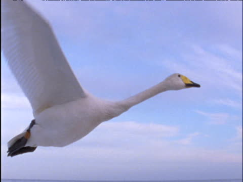 Whooper swan flies low over sea