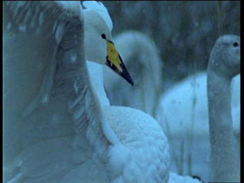 vidéos et rushes de whooper swan on water flaps wings and stretches neck as snow falls, uk - cou d'animal