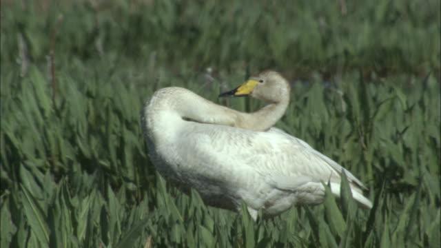 Whooper swan preens amongst vegetation, Bayanbulak grasslands.