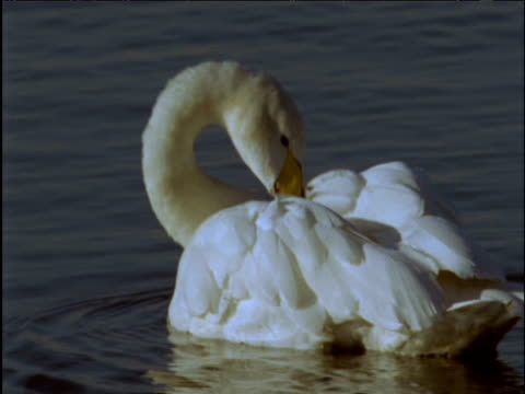whooper swan preens in shallows - イーストアングリア点の映像素材/bロール