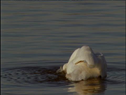 whooper swan preens on lake - イーストアングリア点の映像素材/bロール