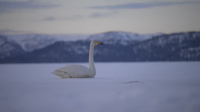 Whooper swan stood up from resting position and walked away out of view in snow field
