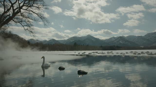 vídeos de stock, filmes e b-roll de whooper swan (cygnus cygnus) swims as steam rises from water at edge of frozen lake. japan - lago