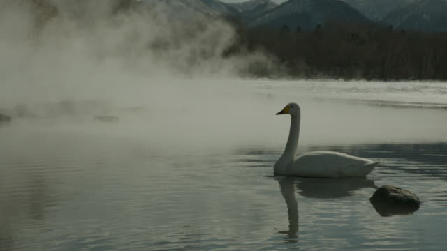 Whooper swan (Cygnus cygnus) swims as steam rises from water at edge of frozen lake. Japan