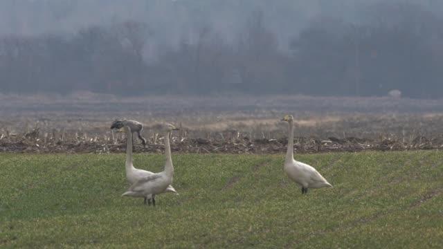 vídeos de stock e filmes b-roll de whooper swan (cygnus cygnus) - parte do corpo animal
