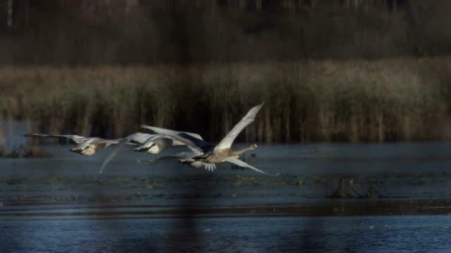 whooper swan - swan stock videos & royalty-free footage