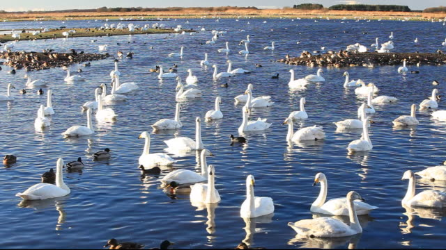 whooper swans (cygnus cygnus) and mixed duck flocks at martin mere, a wildfowl and wetlands trust bird reserve near southport, lancashire, uk. - イングランド サウスポート点の映像素材/bロール
