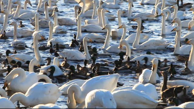 whooper swans (cygnus cygnus) and mixed duck flocks at martin mere, a wildfowl and wetlands trust bird reserve near southport, lancashire, uk. - southport england stock videos & royalty-free footage