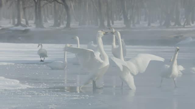 vídeos de stock, filmes e b-roll de whooper swans (cygnus cygnus) flap wings at each other in greeting display on frozen lake. japan - grupo médio de animais