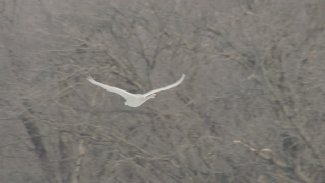 whooper swans (cygnus cygnus) flies past bare trees. japan - cigno video stock e b–roll