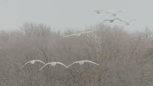 vídeos de stock, filmes e b-roll de whooper swans (cygnus cygnus) fly in and land on frozen lake. japan - grupo médio de animais