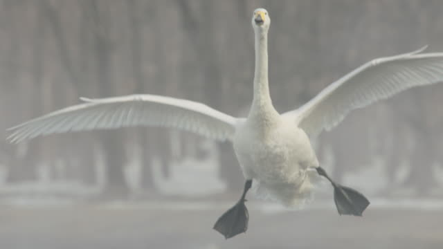 whooper swans (cygnus cygnus) fly in and land on lake. japan - cigno video stock e b–roll