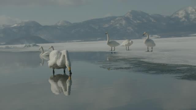 vídeos de stock, filmes e b-roll de whooper swans (cygnus cygnus) shakes itself then swims on frozen lake. japan - grupo médio de animais