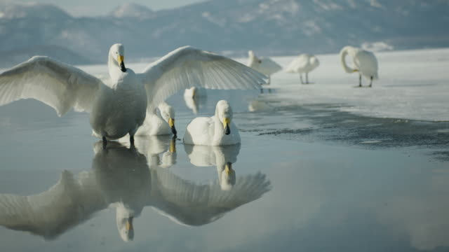 whooper swans (cygnus cygnus) stretches wings on frozen lake. japan - cigno video stock e b–roll